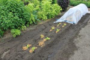 サンチュ、バジル、チンゲン菜の植え付け