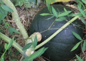 南瓜の収穫(実)
