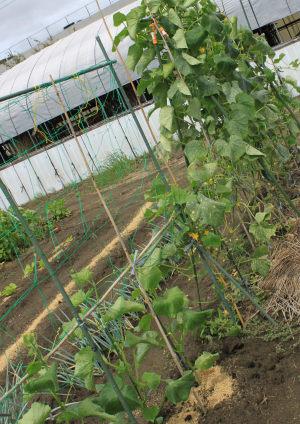 胡瓜の下葉と下からの脇芽をとってます。