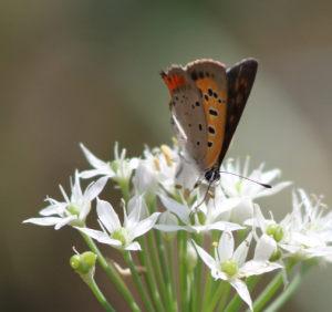 ニラの花 蝶