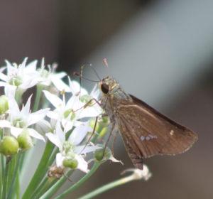 ニラの花 蛾