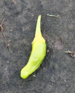 黄色のしし唐
