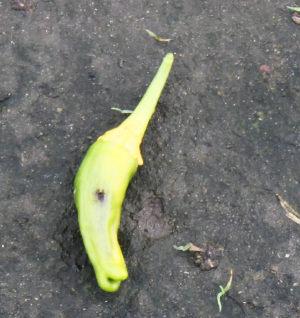 黄色のしし唐2