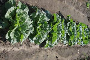 白菜の成長状況