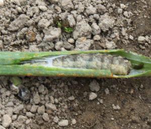 葱の穴の中に幼虫