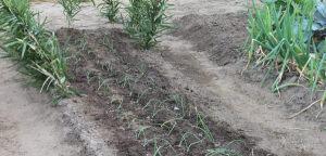 黄玉ねぎの植え付け