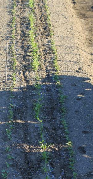 ほうれん草、カブ、小松菜に過燐酸石灰、追肥