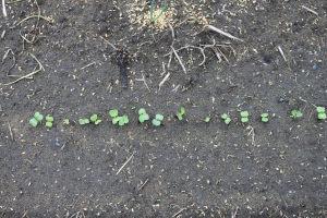 葉大根の発芽